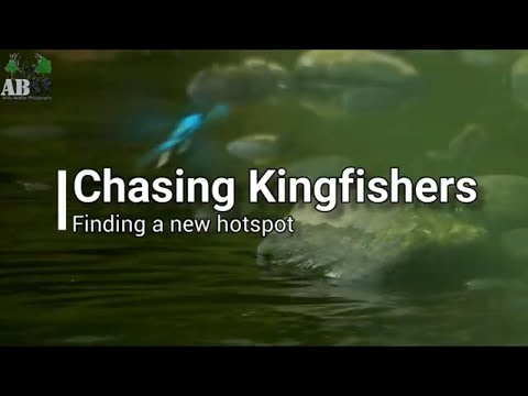 Wildlife Photography: Kingfishers - Finding A New Hotspot (Brighouse)
