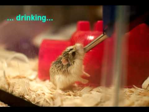 Babies Wallpapers Cute Baby Pictures The Story Of My Cute Roborovski Dwarf Hamster Youtube