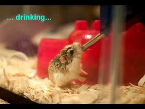 The Story of My Cute Roborovski Dwarf Hamster