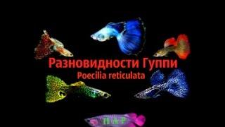 Разновидности Гуппи.Poecilia reticulata