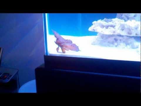 Cockatoo Waspfish 2/22/12