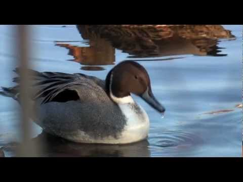 Не убивайте диких гусей и уток