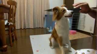 まーくん いたずら発覚! しんだふり? My dog Markun ate his dog toy....