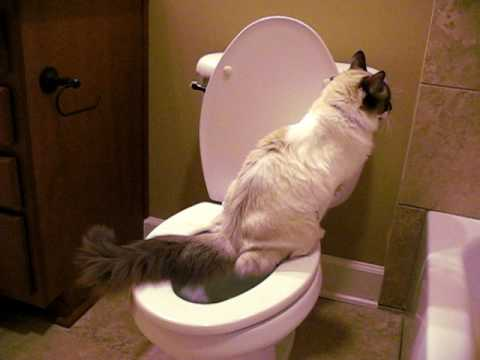 8 cocobean the toilet trained ragdoll cat youtube for Commode kitty
