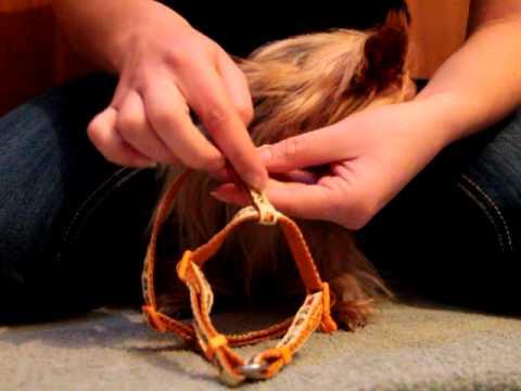 Comment mettre un harnais à un chien