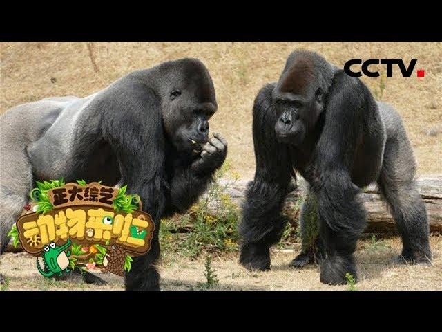 [正大综艺·动物来啦]动物猜猜看 20190519| CCTV