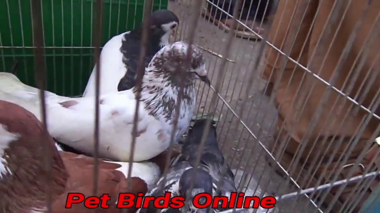 Lalukhet Sunday pigeon kabooter market in Urdu Hindi