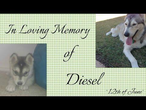 In Loving Memory of Diesel ~ 12th of June ~