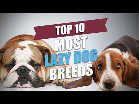 Top 10 Most Lazy Dog Breeds