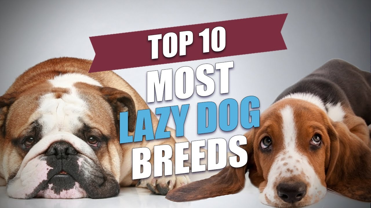 Top 10 Most Lazy Dog Breeds - YouTube