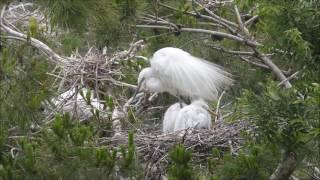 Heron & Egret Chicks