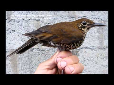 Song of the Himalayan Forest Thrush (STEAM Register)