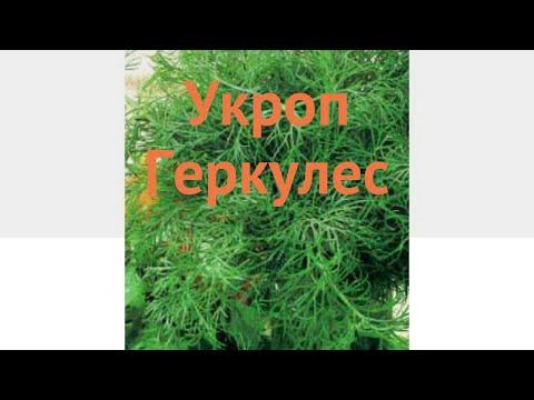 Укроп обыкновенный Геркулес (gerkules) 🌿 укроп Геркулес обзор: как сажать семена укропа Геркулес