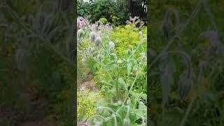 Чудо трава#бораго#огуречная трава#салат