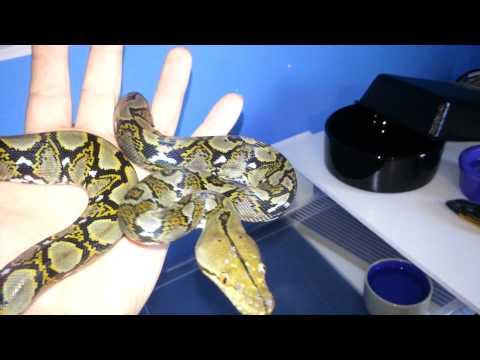 Snake Unboxing  Bob Clark Line Retic