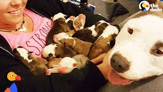 Download Video Pit Bull Dog Mom Brings Puppies To Foster Mom PUPPY ADOPTION UPDATE | The Dodo MP3 3GP MP4
