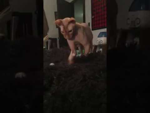 Playing fetch with my Sphynx Cat