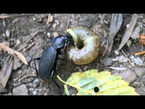 Ground beetle (Carabus coriaceus) eating a snail