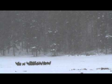 Yellowstone Wolves and Elk
