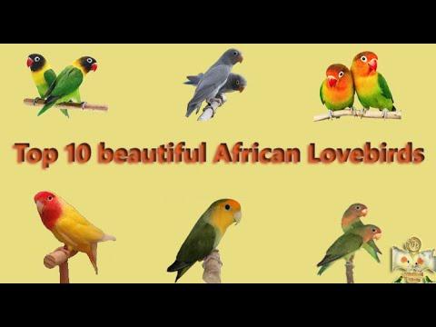 Top 10 Beautiful African Lovebirds Types | Price List 2020 In India | WinNest Birds