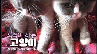 [까까캔디] 매일 아침 꾹꾹이로 잠깨우는 고양이  - 꾹꾹이 하는 고양이 -