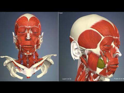 Muscles of facial expression   3D Human Anatomy   Organs