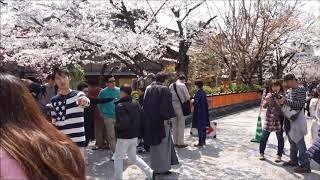 京都桜紀行2019 祇園白川の桜