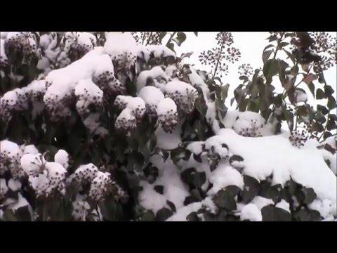 Плющ вечнозелёный зимой