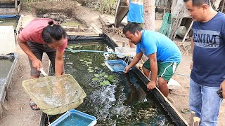World's CHEAPEST GUPPY farm can be found in this fish farm