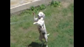 My Dalmatian Dog Playing With The Water Hose Very Funny