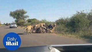 Pride of lions take down MASSIVE buffalo!
