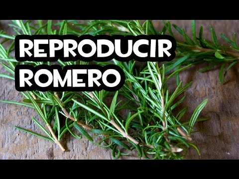 Reproduccion asexual de las plantas esquejes de romero