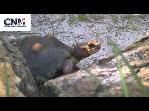 Red-Footed Tortoise Walking + Close-up in 1080P HD