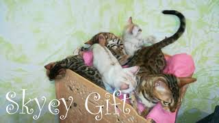 продажа бенгальских котят , бенгалы ,леопардовая кошка,