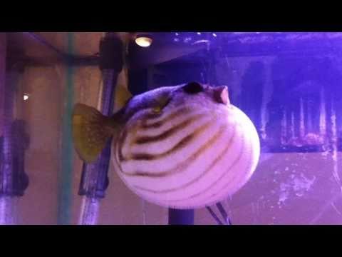 Puffer Fish Puffs