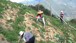 2013-11-14 五峰鄉桃山村採高麗菜