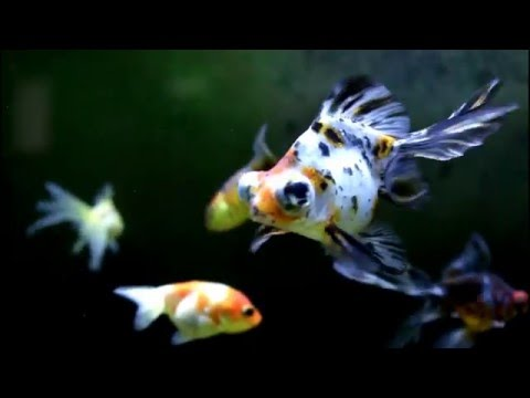Goldfish Black Moor Ranchu Oranda Panda Butterfly Calico Telescope Eye