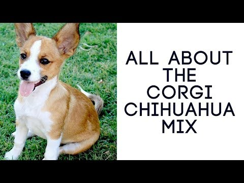 All About The Corgi Chihuahua Mix (Chigi): Ultimate Guide