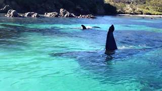 Beautiful Orcas in New Zealand