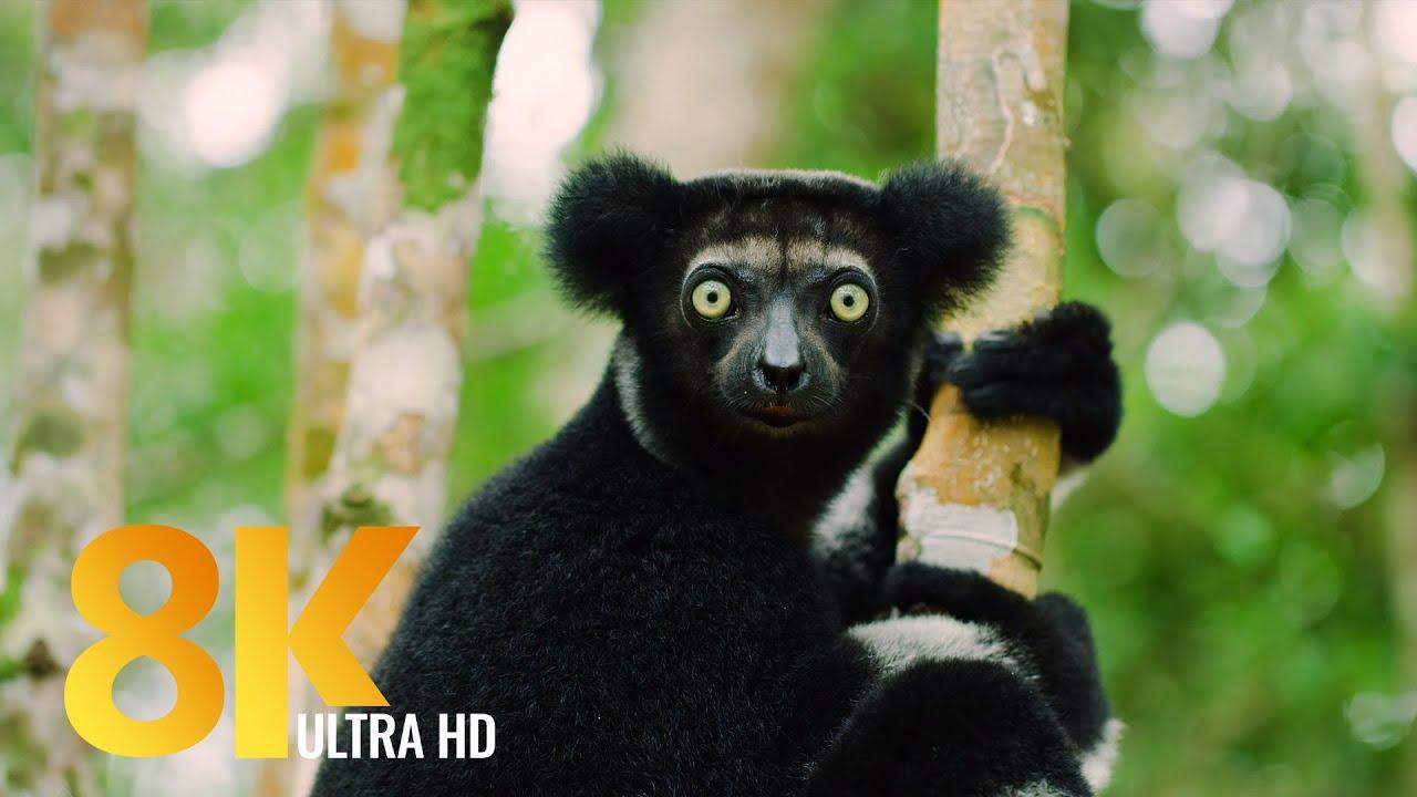 Amazing Madagascar - 8K Wildlife Documentary Film