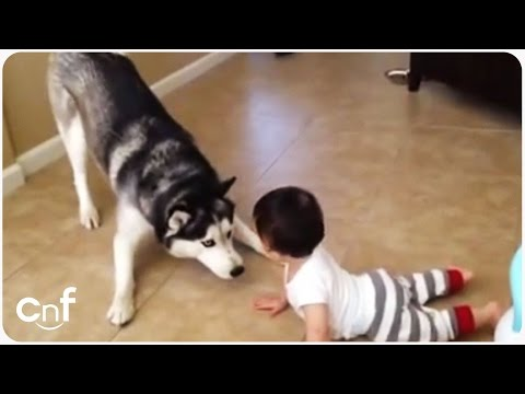 Husky Plays With Baby | Puppy Playtime