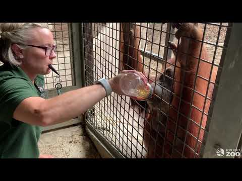 Caring For Our 52 Year Old Orangutan, Puppe!