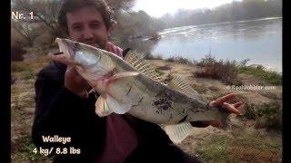 Big Walleyes Fishing from the Riverbank HD/ Angeln auf riesen Zander mit Wobbler/ Улов на бяла риба