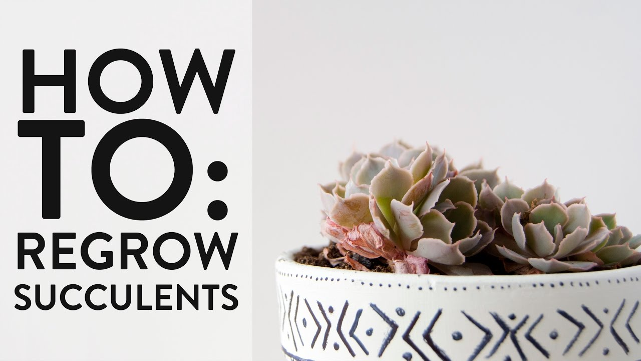 How to regrow succulents youtube for How to keep succulents alive indoors