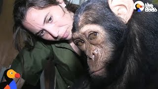 Baby Chimps Stolen To Be Pets Are Freed | The Dodo