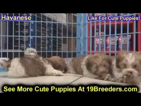 Havanese, Puppies, Dogs, For Sale, In Charleston, West Virginia, WV, 19Breeders, Parkersburg