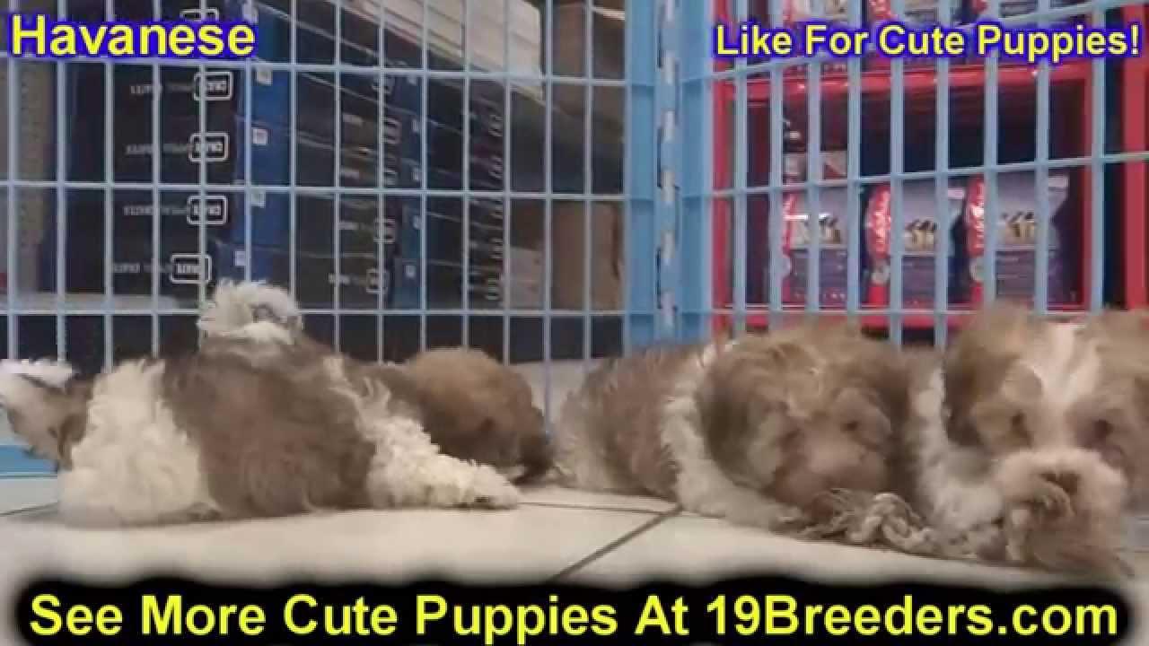 Havanese, Puppies, Dogs, For Sale, In Charleston, West Virginia, WV,  19Breeders, Parkersburg