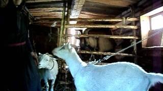 Агафья Лыкова и её козы