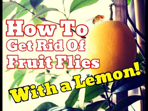 Proof How To Get Rid Of Fruit Flies Without Apple Cider