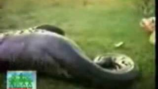Anakonda su aygırını yuttu